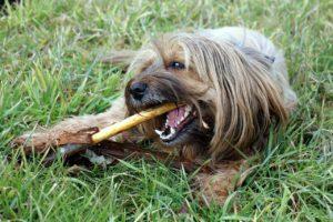 koirien hammaskivi