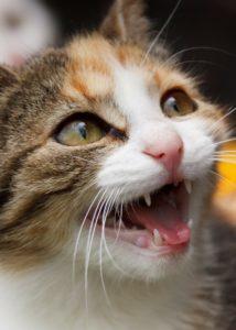 kissan hampaat
