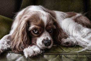 koiran närästys on ikävä vaiva
