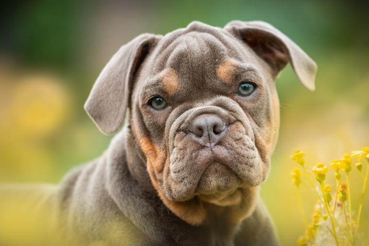 Koiran Ummetus Oliiviöljy